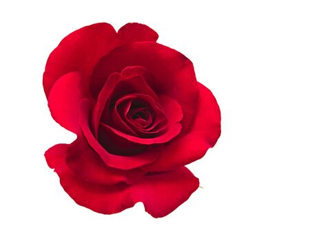 single rose: A flower of roses  Isolated on white