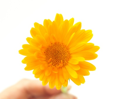 Yellow daisy flower  Isolated on white  photo