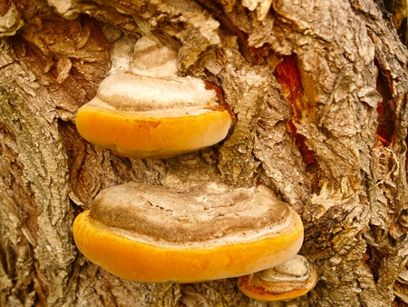 Woody fungus that grows on the bark of an oak. photo