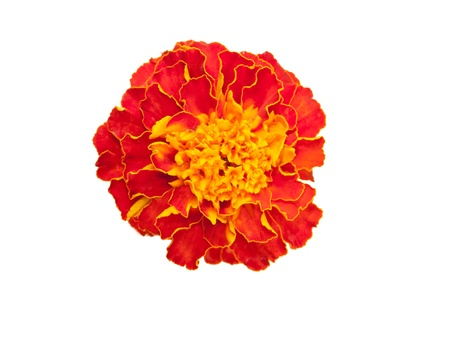 Marigold flower (Latin Tagetes). Isolated on white. photo
