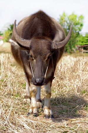 Thai buffalo photo