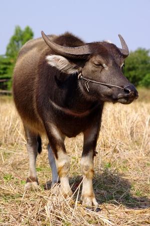 Tailandesa de búfalo Foto de archivo