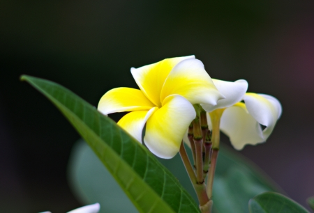 Plumeria flowers photo