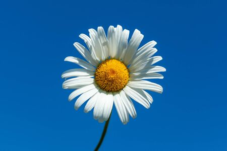 White daisy close-up against blue sky, used as background or texture