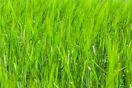 young green wheat ears with blurry background, used as a background or texture, soft focus