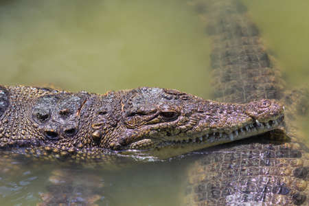 two heads of alligators close up in muddy green river
