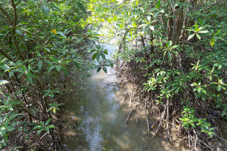 Mangrove trees in the forest, mangrove forest