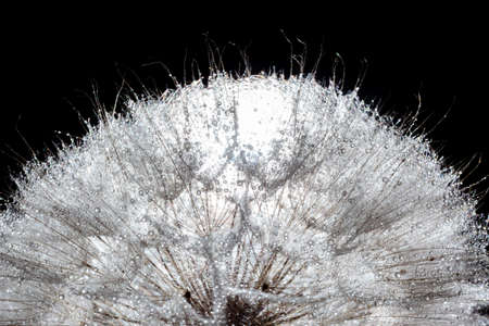 large dandelion cap in water droplets close up against a black background