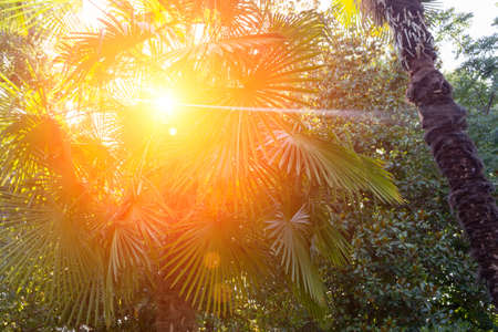 High palm tree in the rainforest, through the leaves shines the sun