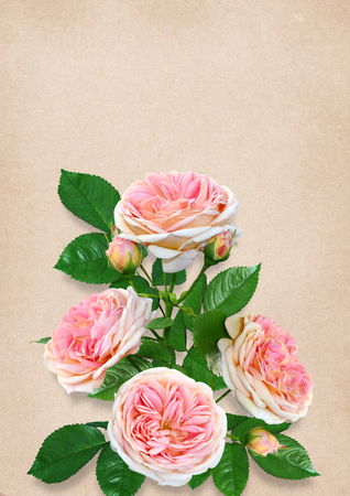 Pink roses on vintage background with space for text