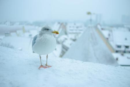 White seagull in snowy Tallin old town Reklamní fotografie