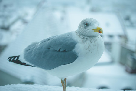 Close up of white seagull in snowy European old town