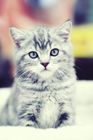 bedspread: Sitting gray kitten on a white bedspread
