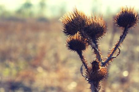 tenacious: Dried prickly plant blurred background