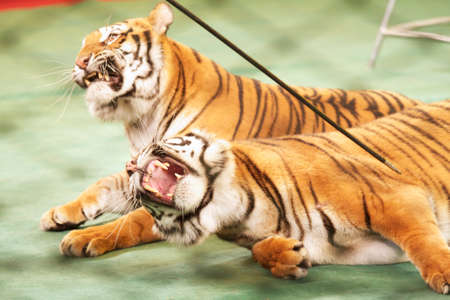 growling: Growling tigers in the circus ring