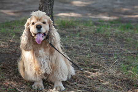 spanned: American Cocker Spaniel stuck out his pink tongue on a walk in the autumn park
