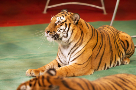 obedient: Obedient tiger calmly lies on the circus