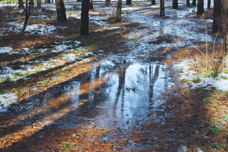 revive: Melting snow on path in pine forest at early spring sunny day