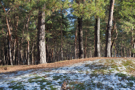 Melting snow on clearing in pine forest at early spring sunny day Standard-Bild