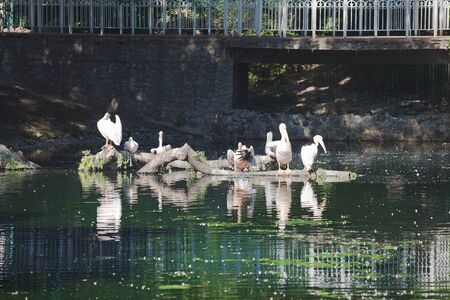bask: Flock of white pelicans at city pond sitting on old snag and bask in sun