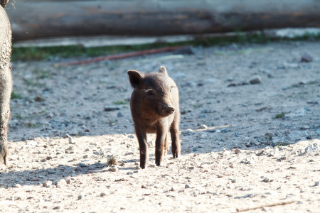 swines: Small black pig looking at the camera Stock Photo