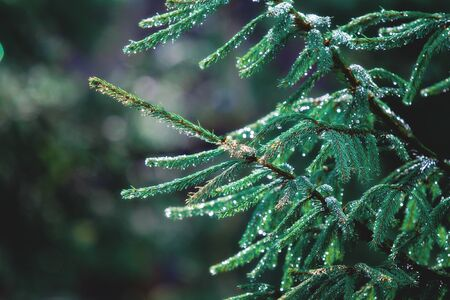 firry: Raindrops sparkle on green fir branches