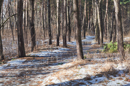 Melting snow on path in pine forest at early spring sunny day