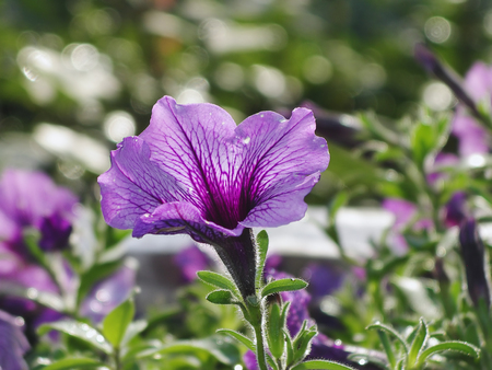 wooly: Blooming lilac flower petunia close-up in the bright sun