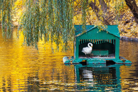 swan: White swan in a wooden house in the middle of the pond at the autumn tree branches