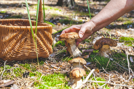 Female hand holds big beautiful white mushroom in a forest glade. Nearby stands a wicker basket