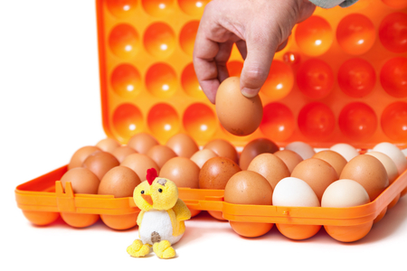 Soft toy chicken sitting in front of an open plastic tray. Hand taking an egg from a container Stock Photo