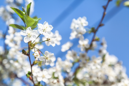 branch of cherries with beautiful white flowers on a background of blue sky clear day