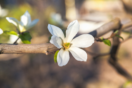 A branch of jasmine with a beautiful white flower with large petals single closeup