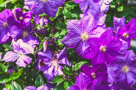 clematis: large purple flowers of clematis close-up Stock Photo