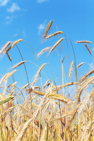 Ripe rye ears flapping in the wind clear summer day against the blue sky
