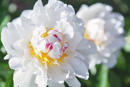 Large white peony flower with yellow stamens close-up