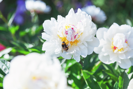 Shaggy bumblebee sits on a white flower peony with yellow stamens in the middle  Stock Photo