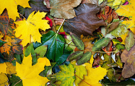 even: Autumn Still Life. Beautiful multi-colored leaves of different trees are even layer