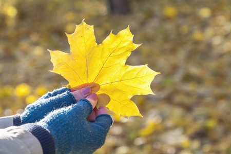 Autumn mood. A large yellow leaf of a maple in female hands in blue woolen mittens. The leaf is beautifully lit by the rays of the sun.