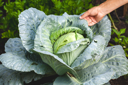 Excellent harvest of cabbage. Hand touches a leaf of a huge white cabbage in a garden close up  Stock Photo