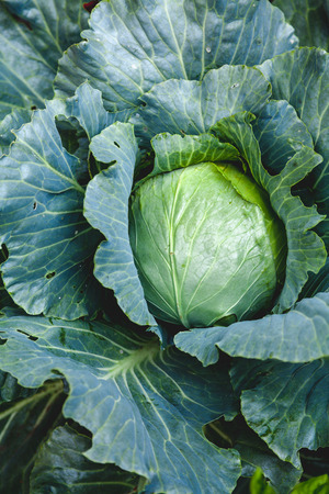 magnificent large head of cabbage grows in the garden. Goan is inside large juicy green leaves. Close-up