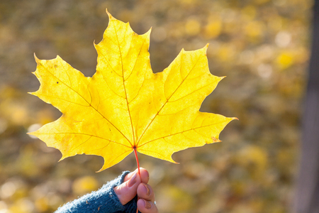 Autumn mood. A large yellow leaf of a maple in a female hands in blue woolen mittens. The leaf is beautifully lit by the rays of the sun.