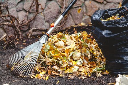 Autumn cleaning leaves. Steel fan rake with a long handle collect fallen leaves. Nearby stands a trash bag Stock Photo