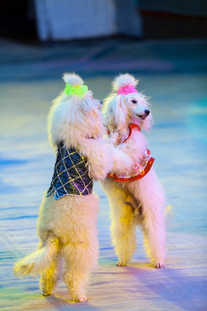 dog waltz. Two white cropped poodles dance together on their hind legs on the red circus arena Stockfoto