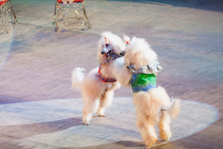 dog waltz. Two white cropped poodles dance together on their hind legs on the red circus arena Stock Photo
