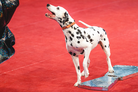 croatian: Dog in the circus. A cute Dalmatian stands on a red circus ring carpet