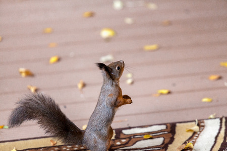 Squirrel sits on its hind legs on the carpet on the veranda and looks up closeup