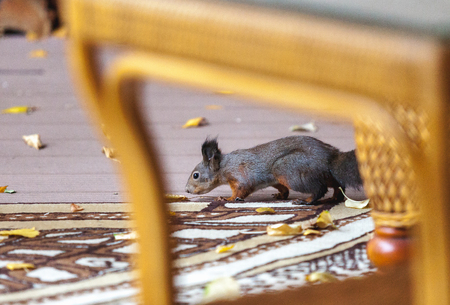 fallen tree: Squirrel on the veranda. Squirrel ordinary sits on a carpet on the veranda and sniffs the fallen leaf of a tree. View through wicker furniture  Stock Photo