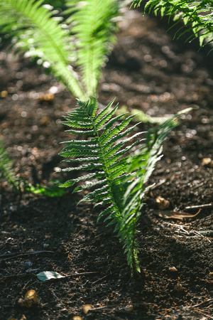 Green leaves of a fern on a plot of black soil summer day
