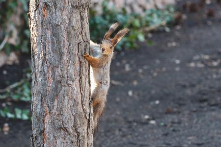 솜털 같은 귀와 평범한 다람쥐 소나무 근접 촬영의 수직 트렁크를 따라 가라 앉는다.